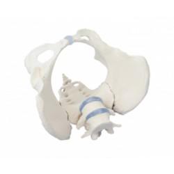 Weibliches Becken mit Kreuzbein und 2 Lendenwirbeln